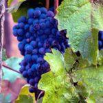 Bulgaarse-druif Ruen